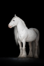 Beautiful White Gypsy Horse With Long Mane On Black Background Isolated. The Full Body Portrait.