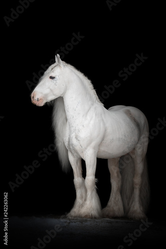 Fototapeta Beautiful white gypsy horse with long mane on black background isolated. The full body portrait. obraz