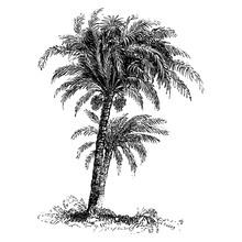 Date Palm Tree Vintage Illustr...
