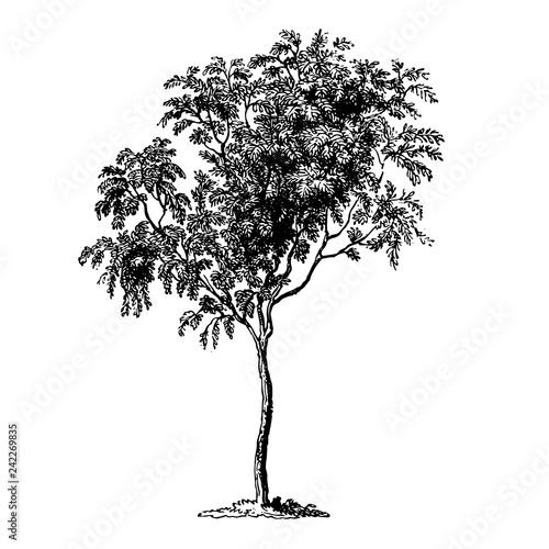 Fotografie, Obraz  Mountain Ash Tree Vintage Illustrations