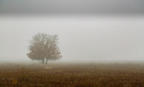 Pradera y roble melojo entre la niebla durante el invierno. Quercus pyrenaica. - 242271003