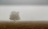 Dąb łąkowy i bagienny wśród mgły zimą. Quercus pyrenaica. - 242271003