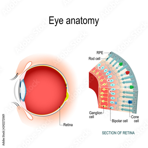 Fotomural Eye anatomy. Rod cells and cone cells.