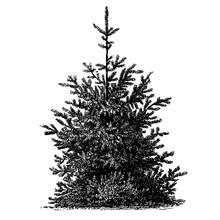 Himalayan Spruce Tree Vintage Illustrations