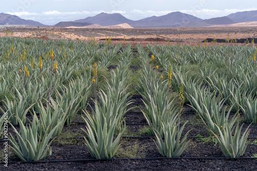 Aloe vera farm, Fuerteventura, Canary