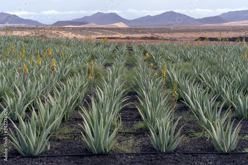 Papiers peints Kaki Aloe vera farm, Fuerteventura, Canary