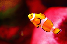 Clown Fish Or Anemone Fish At ...