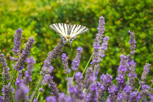 Fotografie, Obraz  Scarce swallowtail butterfly Iphiclides podalirius butterfly on purple lavender