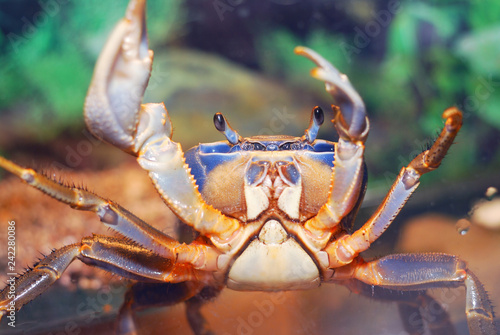 Colorful pet rainbow crab Cardisoma armatum in aquarium