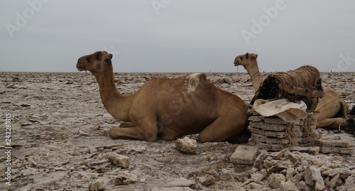 Transportation of salt slabs camel, Karum lake, Danakil, Afar Ethiopia