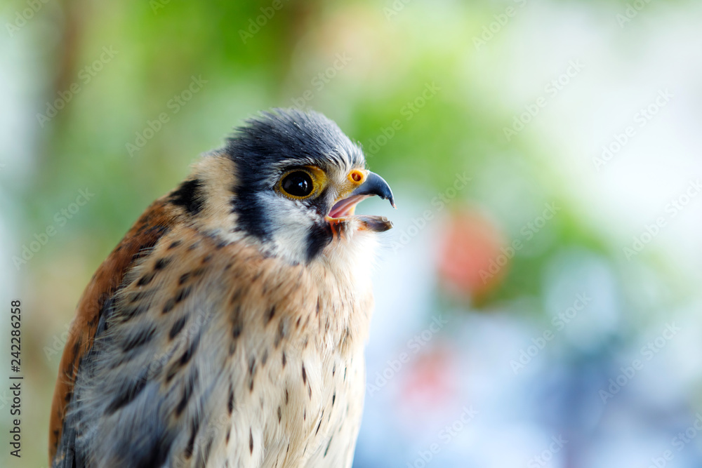 Beautiful profile of a kestrel in the nature