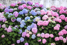 Hydrangea Is Pink, Blue, Lilac, Violet, Purple Flowers. Bushes Are Blooming In Spring And Summer In Town Street Garden.