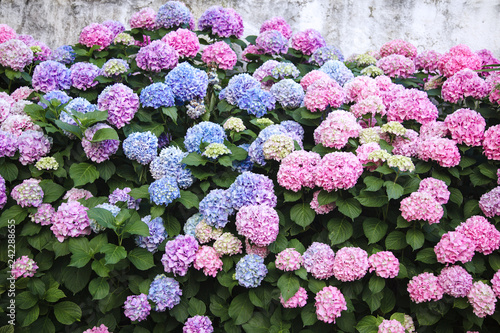 Poster de jardin Hortensia Hydrangea is pink, blue, lilac, violet, purple flowers. Bushes are blooming in spring and summer in town street garden.