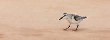 Becasseau Sanderling On The Sand Of The Magdalen Islands