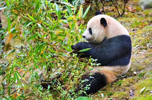 Fényképezés  Giant panda eating bamboo in China