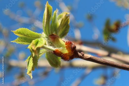 Почки конского каштана весной
