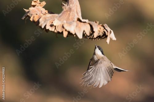 Cincia bigia in volo sotto un fiore di girasole (Poecile palustris) Tapéta, Fotótapéta