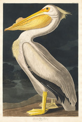 American White Pelican from Birds of America (1827) by John James Audubon (1785 - 1851 ), etched by Robert Havell (1793 - 1878).