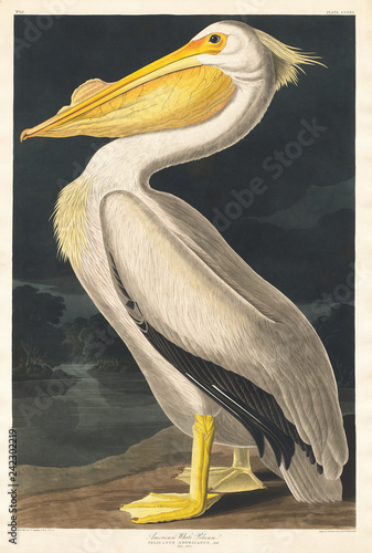 obraz PCV American White Pelican from Birds of America (1827) by John James Audubon (1785 - 1851 ), etched by Robert Havell (1793 - 1878).