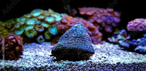 Trochus Saltwater snail reef tank