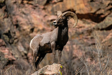 Pose Bighorn Ram