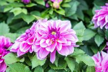 Beautiful Fuchsia Dahlia