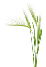 Green Spikelet Of Barley On Wh...