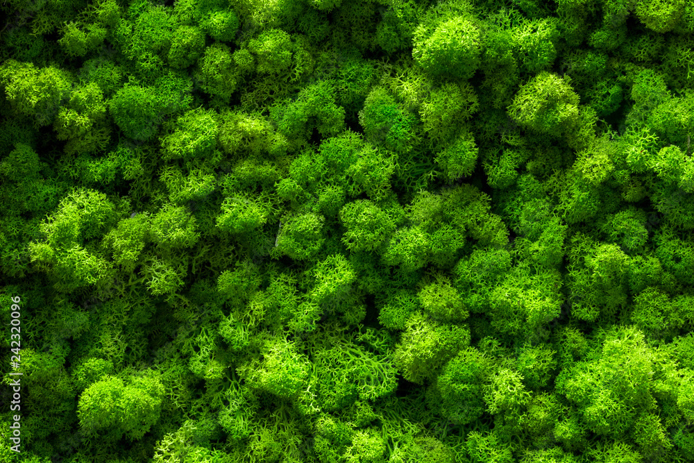 Fototapety, obrazy: Reindeer moss wall, green wall decoration Cladonia rangiferina interior mock up textured