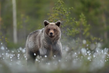 Young Brown Bear In Forest Scenery At Summer