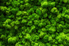 Reindeer Moss Wall, Green Wall Decoration Cladonia Rangiferina Interior Mock Up Textured