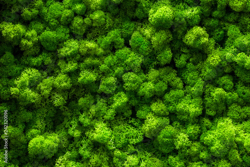 Fototapeta Reindeer moss wall, green wall decoration Cladonia rangiferina interior mock up textured obraz