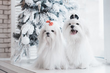 Two White Dogs Breed Maltese S...