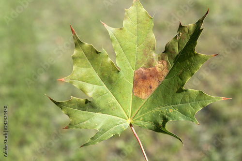 Norway maple (Acer platanoides) green leaf with mine of Sawfly leafminer (Heterarthrus sp.), Belarus
