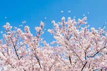 Sakura Cherry Blossoms Branches Tree Against Blue Sky Background, Sakura Turn To Soft Pink Color In Sunny Day And Sun Shine In Morning. Beautiful Pink Flowers In Spring Season In Japan.