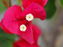 Red Bouganvillia Bract.