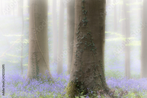 Foto auf Gartenposter Wald Spring forest with early violet blue bells in the foggy mist. These wild flowers cover the floor of the woods with a carpet of color.. Bluebells are beautiful wildflowers.