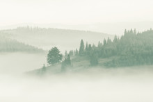 Foggy Mountain Ranges Covered With Spruce Forest In The Morning Mist