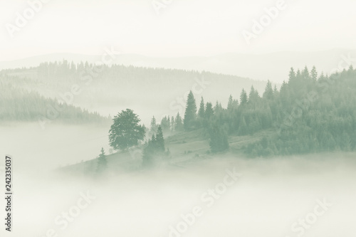 Poster Morning with fog Foggy mountain ranges covered with spruce forest in the morning mist