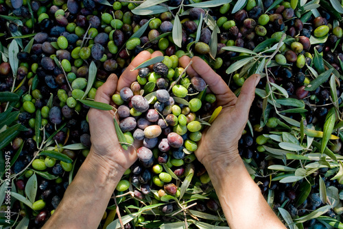 Fotoposter Olijfboom girl hands with olives, picking from plants during harvesting, green, black, beating to obtain extra virgin oil, food, antioxidants, Taggiasca variety, autumn, light, Riviera, Liguria, Italy
