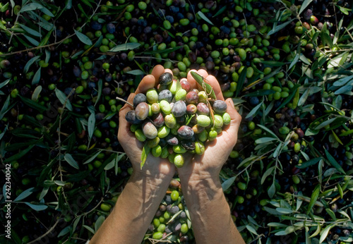 Fotografia  girl hands with olives, picking from plants during harvesting, green, black, bea