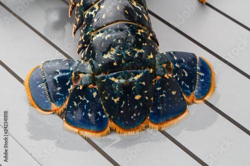 Queue de homard breton vivant après la pêche