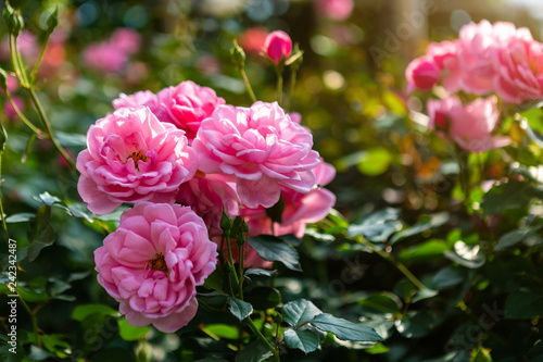 Fototapeta Beautiful pink rose on the rose garden in summer in a garden. obraz