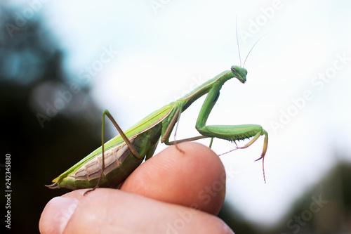 Fototapeta  praying mantis on finger