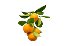 Branch With Ripe Fruits Of Calamondin. Orange Round Citrus Fruits With Green Leaves. Close Up, Isolated On White Background