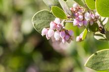 Manzanita Tree Pink Flowers, C...