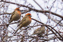 House Finches (Haemorhous Mexi...