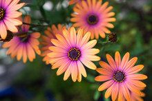 Close Up Of Orange African Daisy (Osteospermum)