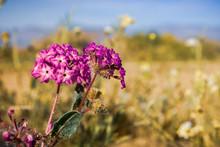 Close Up Of Desert Sand-verbena (Abronia Villosa) Blooming In Anza Borrego Desert State Park, San Diego County, California