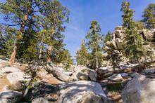 Ponderosa Pines On The Trail To San Jacinto Mountain Peak, California