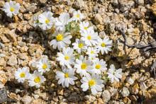 Desert Star (Monoptilon Bellio...